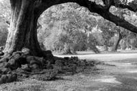 city park oak b&w 6x4.jpg