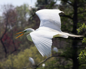2010 Jacob Thompson 1st place Flight of the Egret 6x4.jpg